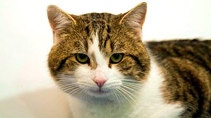 L-political-animals-pets-Larry-the-new-Downing-Street-cat-from-Battersea-dogs-home