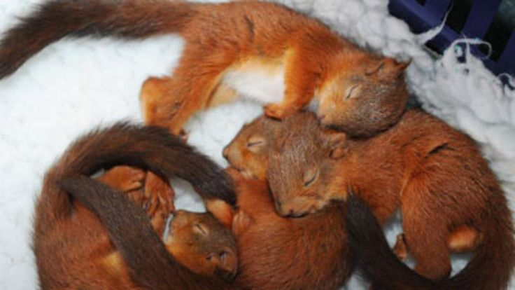 Red squirrel kittens cosy up in a blanket