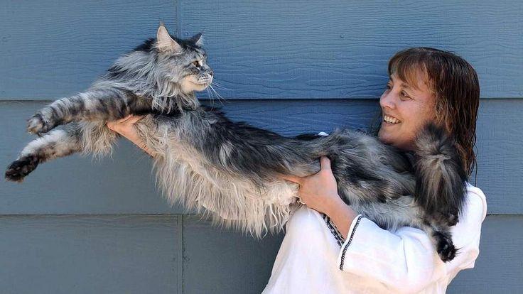 Stewie The World's Longest Cat