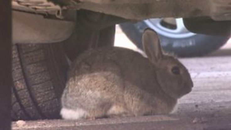 Bunnies eating wires in cars parked at Denver Airport (CREDIT: CBS)