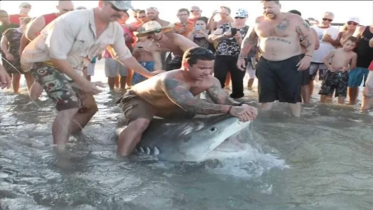 Tiger Shark caught by rod from beach in Corpus Christi Texas