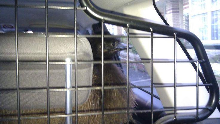 Escaped emu coaxed into police car