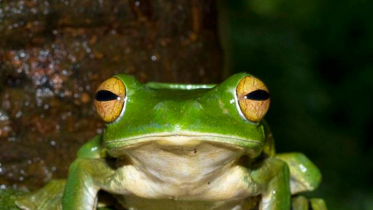 Handout picture of a Helen's Flying Frog perched on a branch in Nui Ong Nature Reserve in Vietnam's Binh Thuan Province