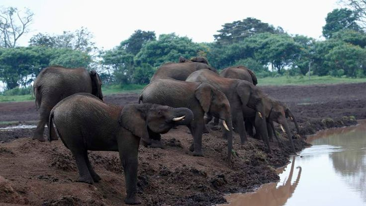 Herd of elephants drink water outside Treetops Hotel in the Aberdare National Park near the township of Nyeri in central Kenya