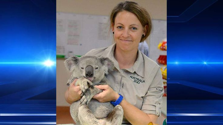 A koala called Timberwolf recovers at Australia Zoo after clinging onto a car for 50 miles. Pic: Australia Zoo