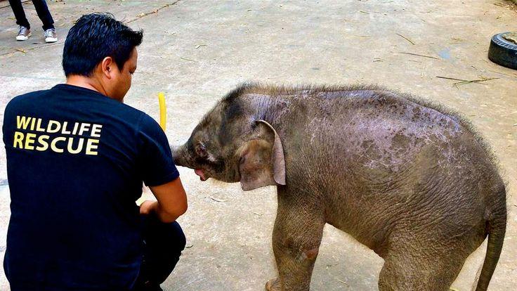 Orphaned pygmy elephant