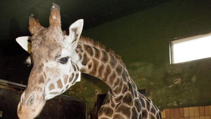 A seven-year-old giraffe called Marius (L) is seen at the Danish Jyllands Park Zoo