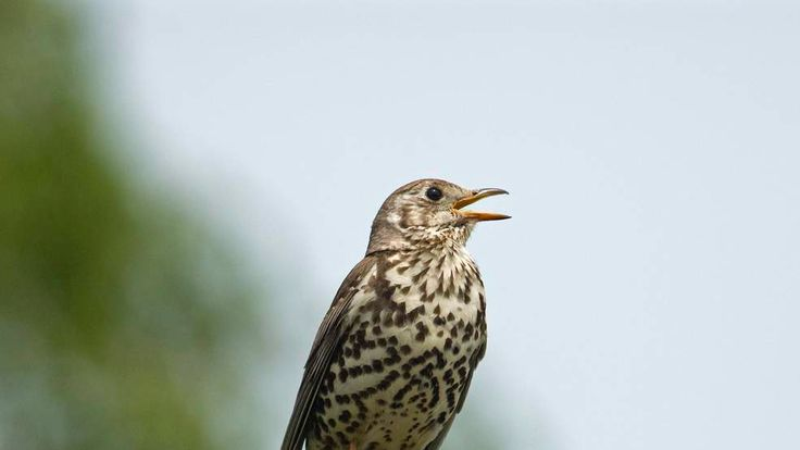 Mistle thrush singing on a fencepost