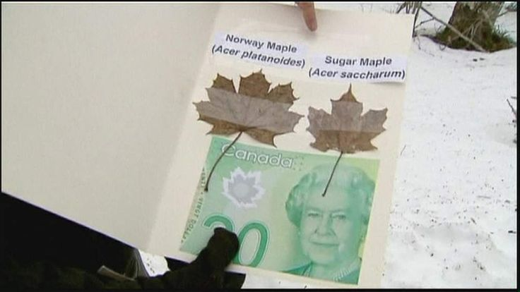 Canadian bank note and maple leaves