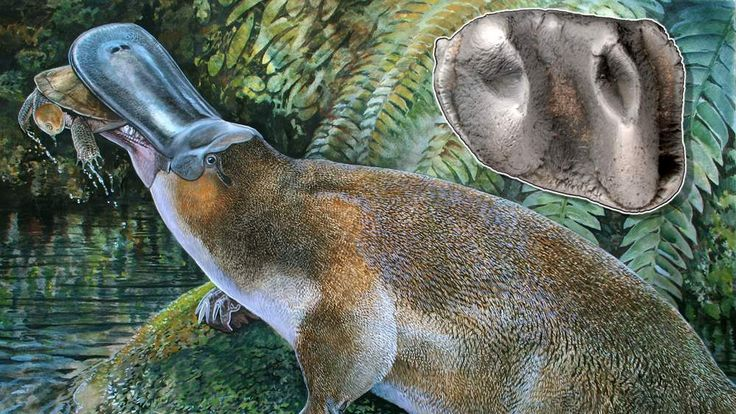 Undated handout image shows an artist impression released by Peter Schouten of a newly discovered species of an extinct platypus, Obdurodon tharalkooschild