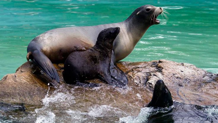 California sea lion Doro barks while resting next to her two-month-old baby Gina in their enclosure during their official presentation at Berlin Zoo