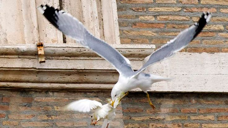 A dove released during an Angelus prayer conducted by Pope Francis is attacked by a seagull at the Vatican