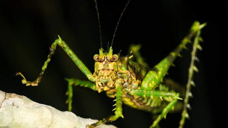 Spiny moss katydid