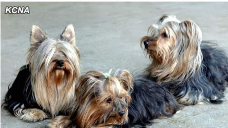 Yorkshire Terriers have been added to a Pyongyang zoo's list of animals