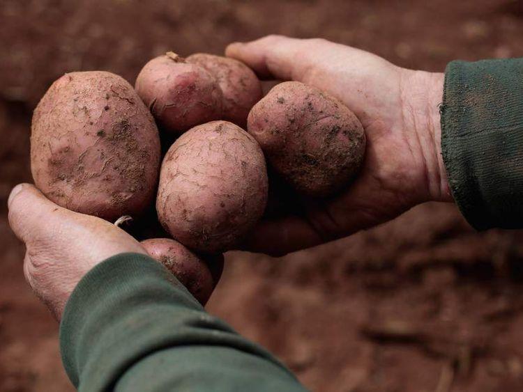 Potatoes which were grown near Ledbury in England.