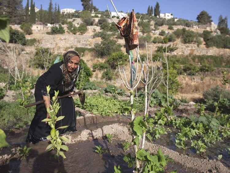 A Palestinian farmer irrigates her land