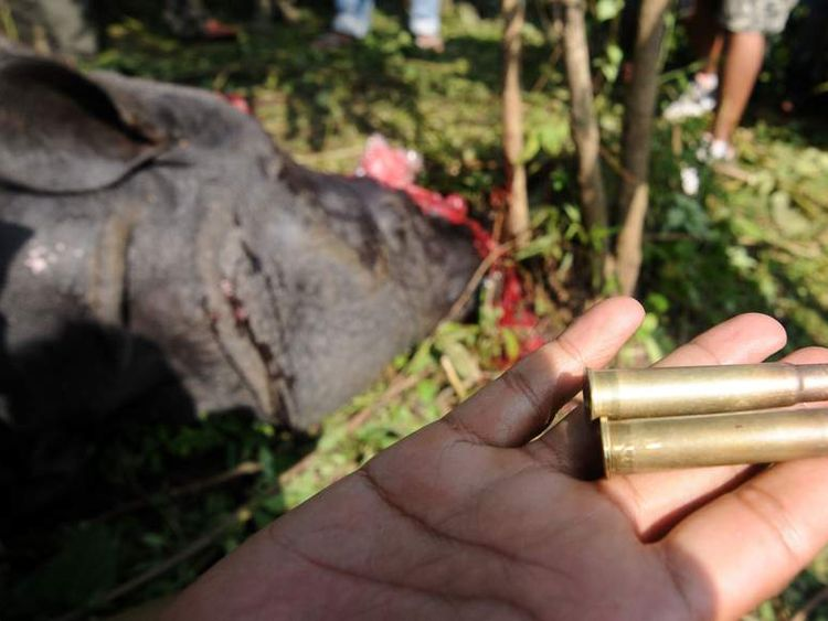 An Indian forest official shows the bullets used by poachers to shoot a one horned horn Rhinoceros