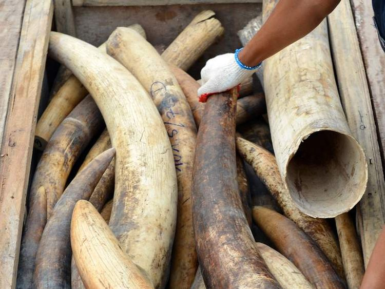 A Malaysia's customs officer rearranges elephant tusks into a hidden compartment at the customs house in Malaysia's port town of Klang outside Kuala Lumpur