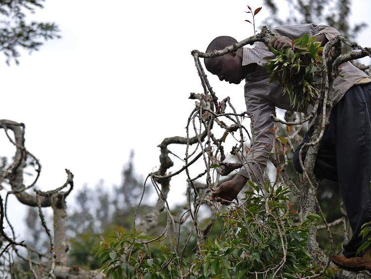 A farmer plucking khat shoots off a tree on a plantation at Kenya's misty central highlands region of Meru.