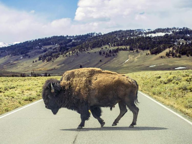 Bison crossing a road in Yellowstone