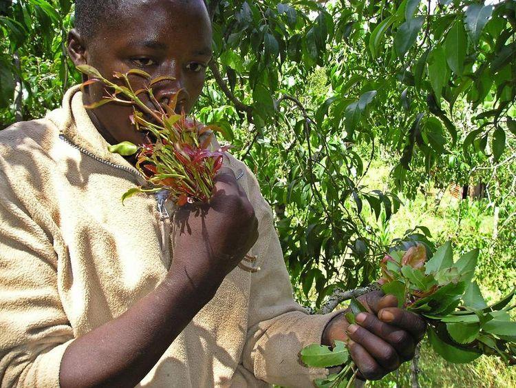 Kenyan farmer James Ntonyi chews khat leaves at his father's farm 16 January 2006, in Meru, 170 kilometres northeast of Nairobi.