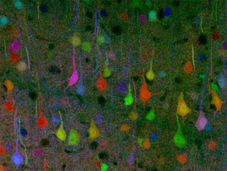 With a combination of genetic tricks and fancy proteins, researchers have colourfully labelled hundreds of individual neurons with distinctive hues to create a ?Brainbow?. The research, published in Nature this week, takes mapping to a new level, and results in the labelling of neurons with approximately 90 different colour combinations. Over a hundred years ago, Ramon Y Cajal?s use of Golgi staining on nerve cells opened the gates to modern neuroscience, but until now it has been tough to map out individual cells in each neuronal circuit. Jeff Lichtman and colleagues have developed the Technicolor version of Golgi staining, Brainbow, allowing more detailed reconstructions of brain circuits