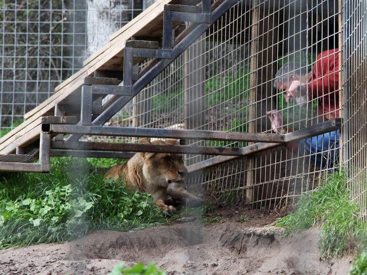 US Lion 2