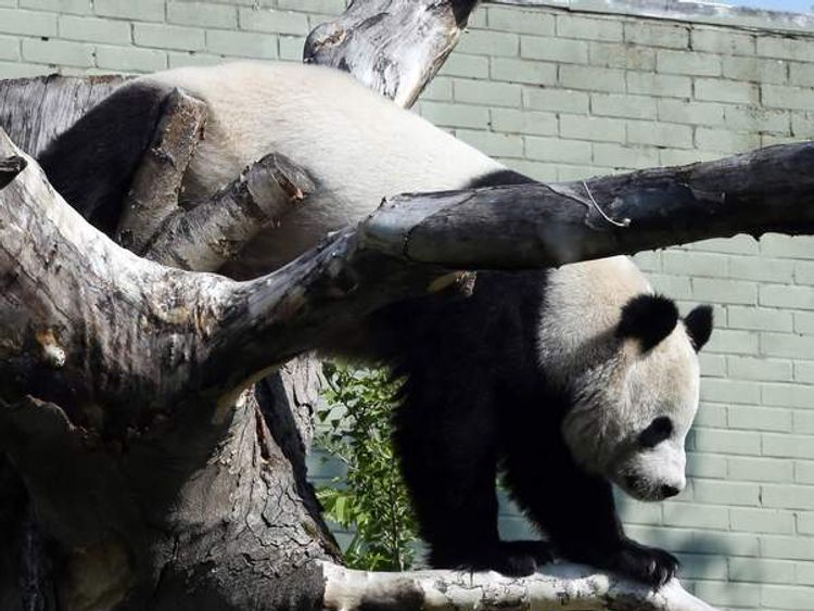 Edinburgh Zoo's giant panda, Tian Tian