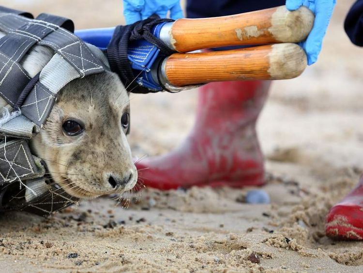 An orphaned seal pup is released back into the wild in Norfolk.