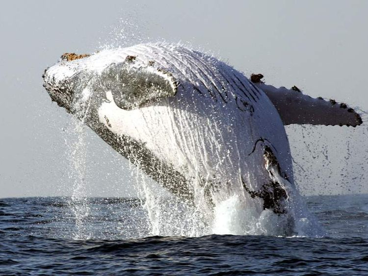 Humpback Whale Breaches Off Coast