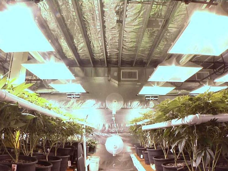 Cannabis plants in production facility in Colorado