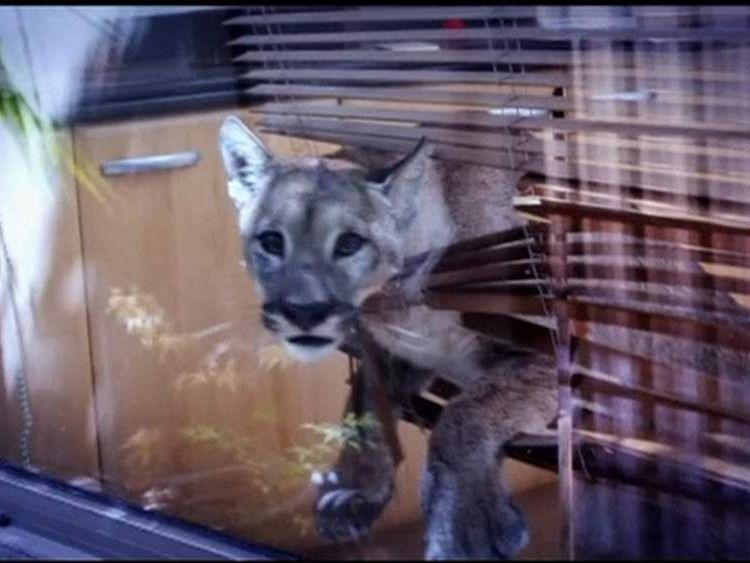 Puma in kitchen in Santiago, Chile