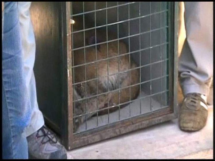 Puma captured from kitchen in Santiago, Chile