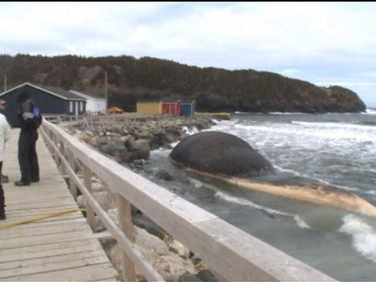 Dead blue whale washes up on beach in Canada