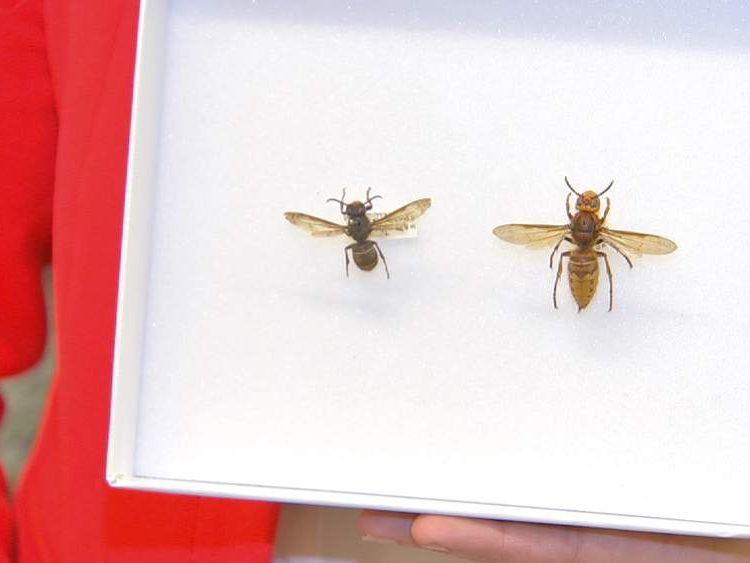 An Asian hornet (left) and a British hornet (right).