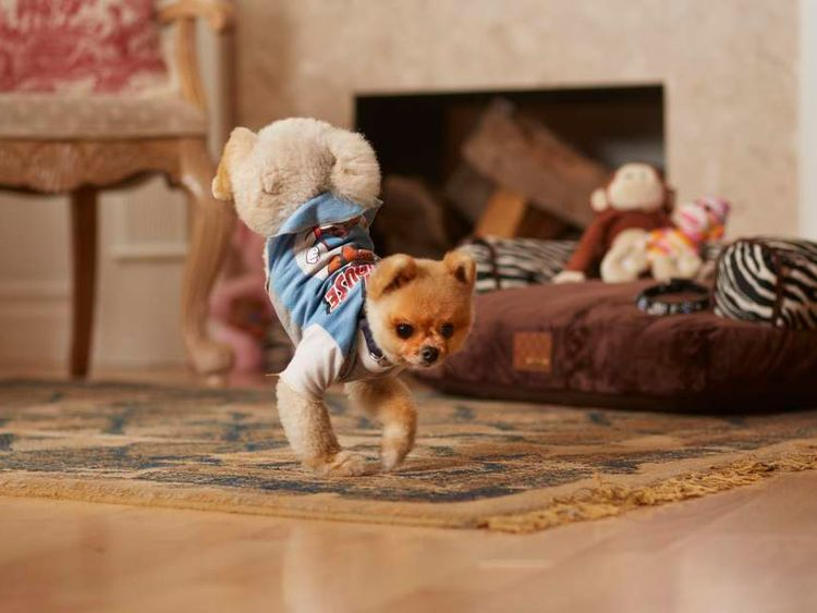 Jiff The Pomeranian Pic: Kevin Scott Ramos/Guinness World Record