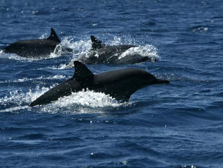 DOLPHINS BREACH THE SURFACE IN TAMARIN BAY.