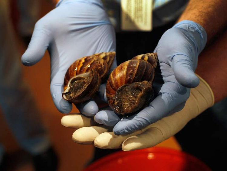 Florida's Department Of Agriculture Warns Of Arrival Of Giant African Land Snails In U.S.