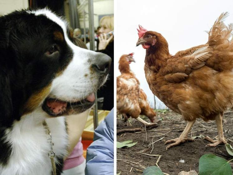 Bernese Mountain Dog, chickens