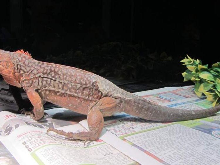 Endangered Iguanas Seized At Heathrow