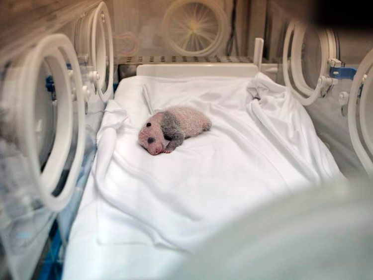 A newborn giant panda cub is seen inside an incubator
