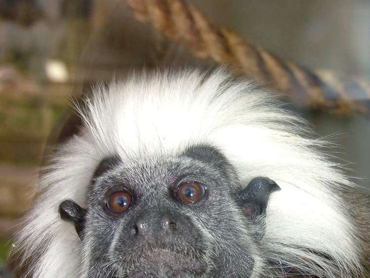 One of the stolen monkeys, a Cotton-top Tamarin