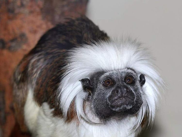 A stolen monkey, a Cotton-top Tamarin