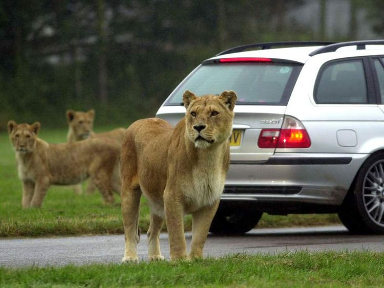 Lions in their enclousre at Longleat Safari Park