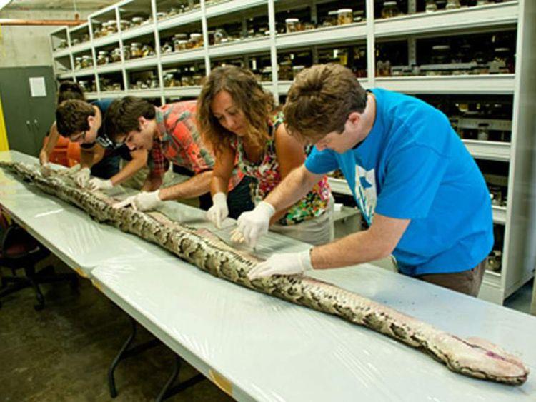 17-foot-7-inch Burmese python