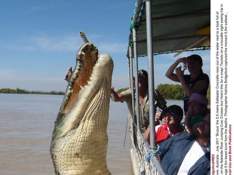 'Brutus' the 5.5 Metre Saltwater Crocodile, Adelaide River, Australia - July 2011