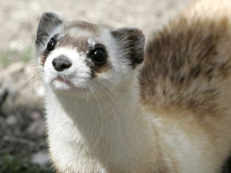 Mothra, a female black-footed ferret waits for pieces of prairie dog to be delivered to eat at the National Black-footed Ferret Conservation Center in Wellington
