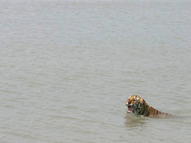 A tigress swims in the waters of river Sundari Kati, in the Sunderbans region of India