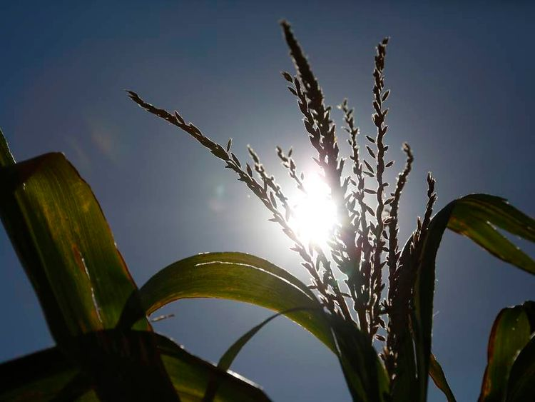 A corn stalk is seen under the noon sun