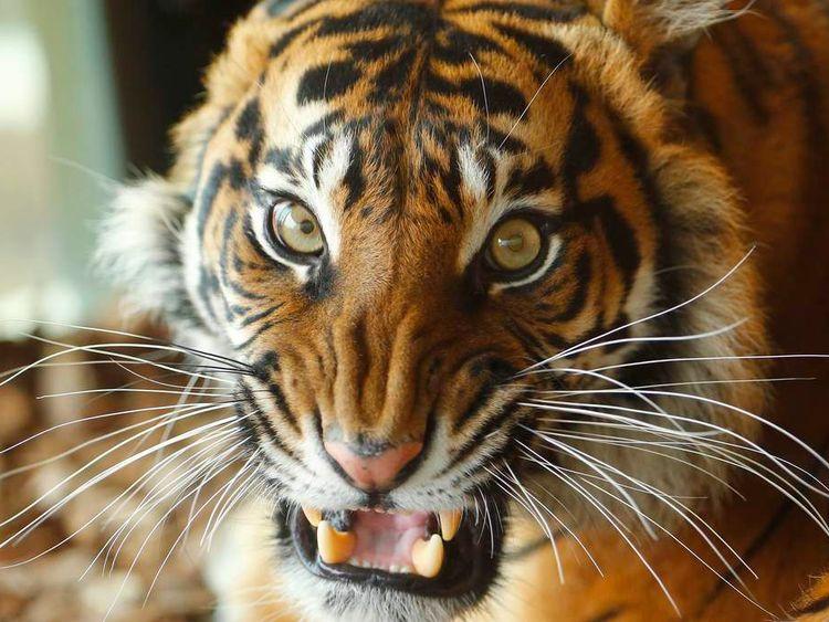 Melati, a Sumatran Tiger at London Zoo